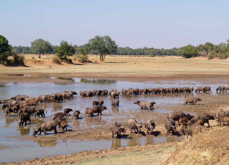 Troupeau de buffles Luangwa Valley