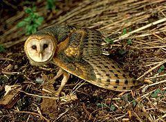 Przedstawiciel rodziny – płomykówka zwyczajna (Tyto alba)