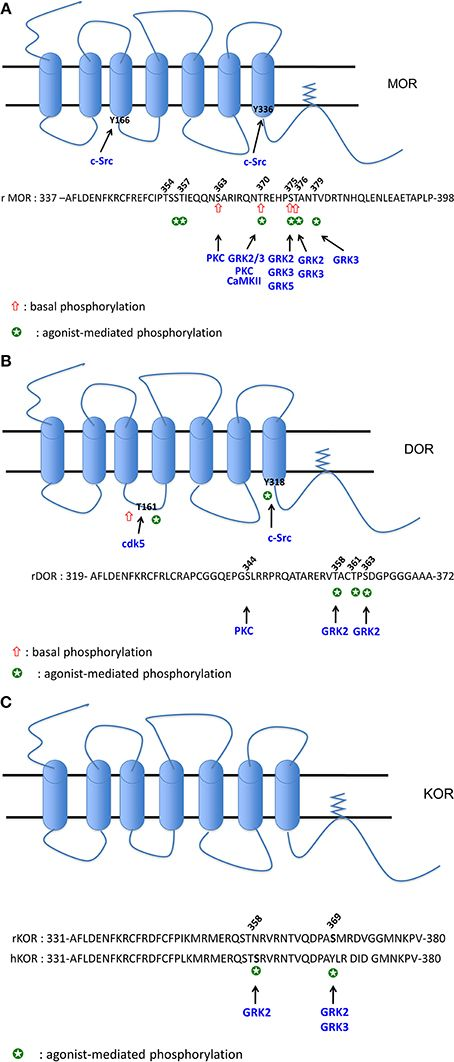 Opioid receptor desensitization: mechanisms and its link to tolerance