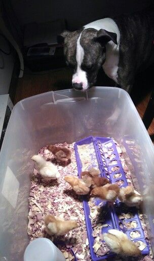 China keeping a close eye on her baby chicks! She takes great care of them and the baby kittens! She is such a MOTHER HEN!! I LOVE IT!!