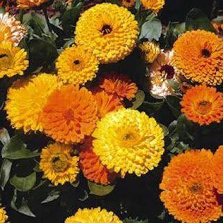 Αυτό το όμορφο, ετήσιο φυτό είναι ενδημικό της νότιας Ευρώπης. Το ύψος του φθάνει τα 50 με 70 εκατοστά. Οι διακλαδώσεις των μίσχων του καλύπ...