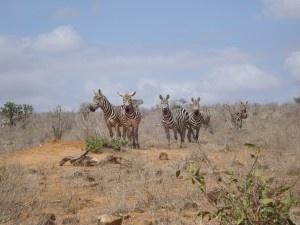 zebras, Tsavo east