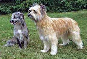 Chien des montagnes, le Berger des Pyrénées, très affectueux et intelligent. Toutes les infos sur ce chien dégourdi - http://www.docanimo.com/berger-des-pyrenees/