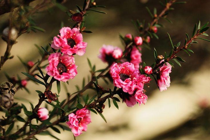Manuka Tree Flowers New Zealand