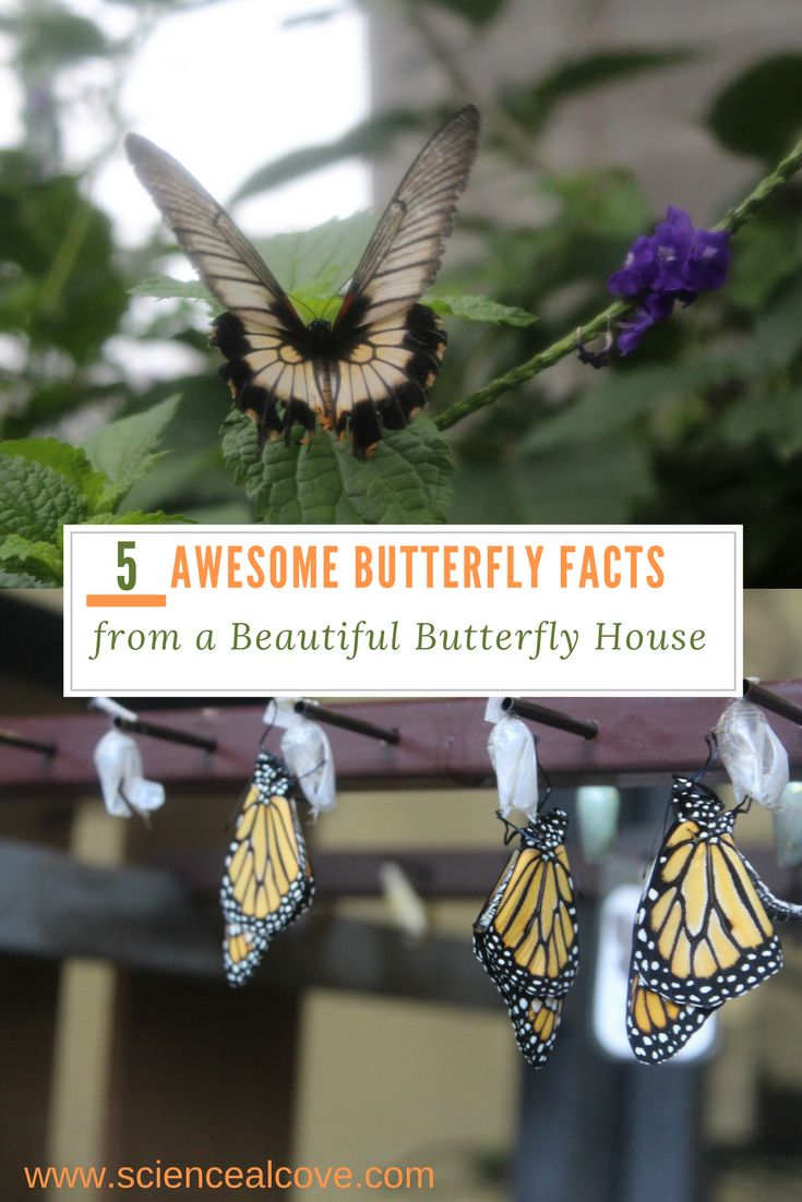 Students from preschool and older love butterflies.  Read some fun truths about butterflies for kids and people of all ages.