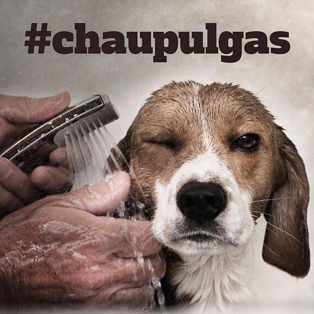 #petips #chaupulgas  😷🐶 Empezamos el #lunes con algunos tips para eliminar las pulgas de tu perro: ➡️El primer paso será bañar a tu mascota con un Shampoo antipulgas, es la manera más efectiva de acabar con las pulgas de tu perro.  ➡️Asegúrate de bañarlo muy bien con el Shampoo antipulgas y cubrir perfectamente todo el cuerpo de tu perro con él y retirar todas las pulgas muertas que te encuentres.