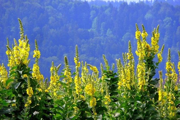 Sığır Kuyruğu    Sıracaotugiller familyasından sarı çiçekli  bir bitkidir. Uçucu yağ ve glikozitler içerir. Analjenik ve antiseptiktir.    Balgam söktürücü ve göğsü yumuşatıcıdır.    Solunum bozuklukları ve bronşitin tedavisinde kullanılır.    Astım semptomlarını azaltır.    Kuru öksürükte etkilidir.    Ses kısıklığında kullanılabilir.    İdrar söktürücü ve kabızlığı gidericidir.    Basur için kullanılabilir.    Sığır kuyruğu şurubu uyku bozuklukların da ve stresi azaltmada kullanılır.