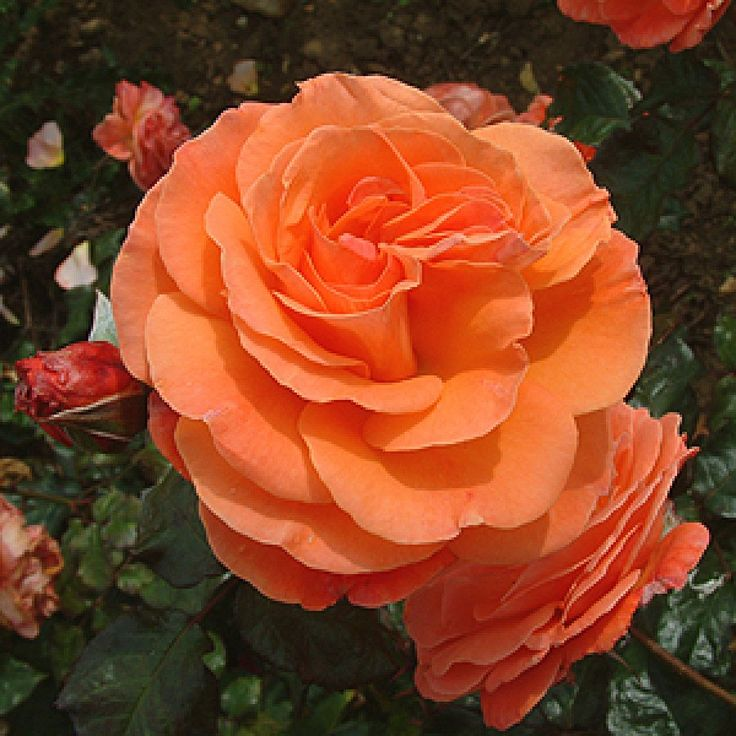 Tatton Rose Floribundas Cluster Roses 2000 Bush Rose