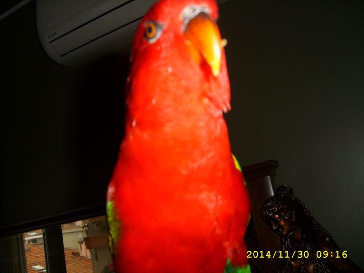 Parrot Avni