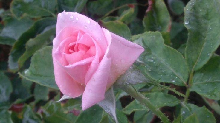 St Feliu, ciutat de les roses 😍