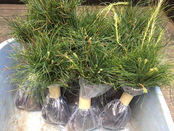 621 Best NurserySeedlings Starter Seedlings Saplings Images On  - Christmas Tree Seedlings