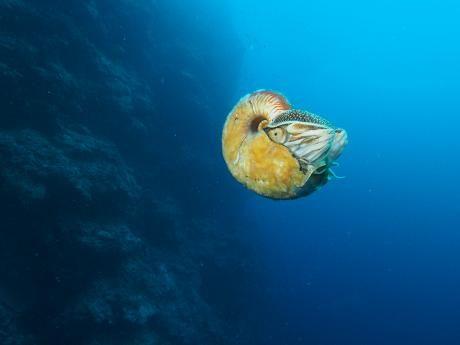 Allonautilus scrobiculatus on helmiveneistä harvinaisin.