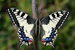 Otakárek fenyklový (Papilio machaon, Linné, 1758) patří mezi nejkrásnější a největší denní motýly ČR (rozpětí křídel dosahuje velikosti 7- 9 cm). Patří mezi ohrožené druhy motýlů ČR.