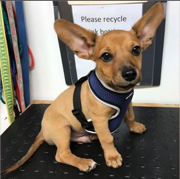 Adopt Gizmo On Pet Adoption Chihuahua Animal Projects