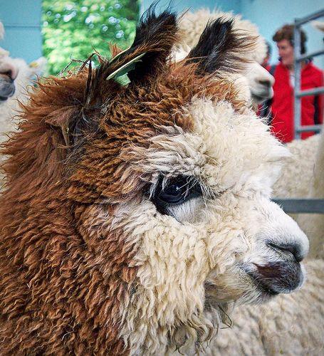 alpaca ears - Google Search