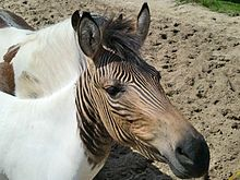 Zebroid - A zebroid (also zedonk, zorse, zebra mule, zonkey, and zebrule) is the offspring of any cross between a zebra and any other equine: essentially, a zebra hybrid. In most cases, the sire is a zebra stallion. Offspring of a donkey sire and zebra dam, called a zebra hinny, or donkra, do exist but are rare. Zebroids have been bred since the 19th century. Charles Darwin noted several zebra hybrids in his works.