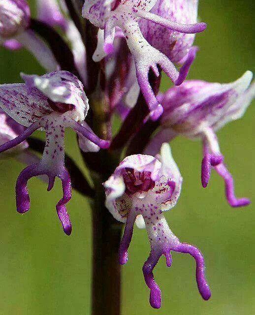 Orchidée 'Orchis Italica' (l'homme nu orchidée). Surprenante orchidée dont les fleurs ressemblent à de petits personnages dansants !