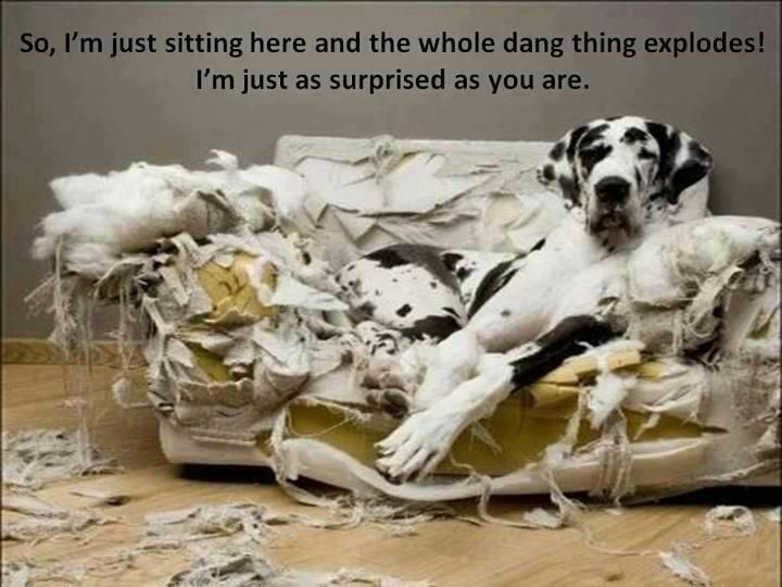 Funny Great Dane | Great Dane and the exploding couch Funny dog photo with…