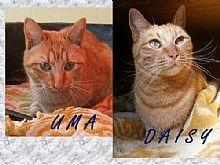 Gatas Uma y Daisy. Dos hermanas que buscan un hogar.