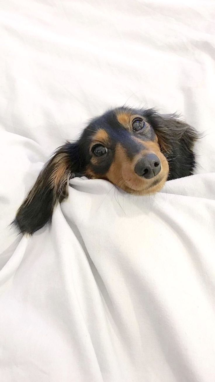 1698 best Doxies images on Pinterest | Adorable animals, Baby ...