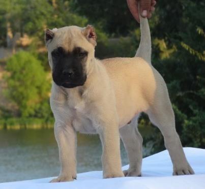 MID AMERICA K-9 PRESA CANARIO - puppy
