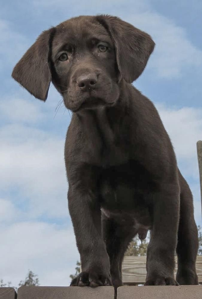 chocolate lab puppies ohio 17 best images about labrador retrievers on pinterest 5560