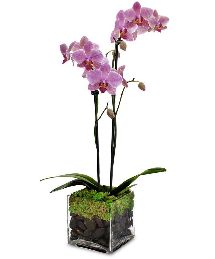 Orchid Plants, Orchids