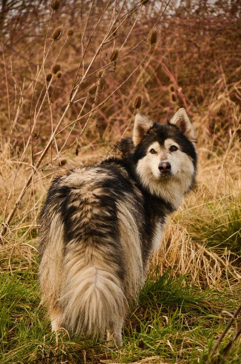 And so it has been decided, a northern inuit dog is our next dog.