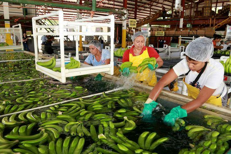 Honduras: En 11.5% crecen envíos de banano al extranjero  El buen precio en el mercado mundial y un aumento en el volumen de producción, favorecieron la actividad de este sector. Mujeres trabajan en la selección de los racimos de bananos para exportación en una planta de San Manuel.