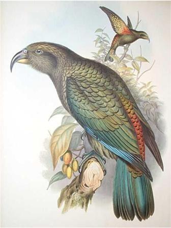 Kea. Gould, John, Birds of Australia, 1840-48.