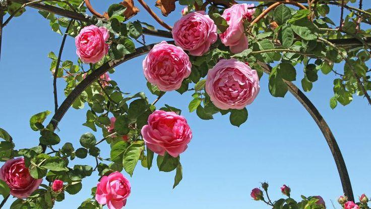 Jardin: c'est le moment de tailler rosiers grimpants et framboisiers