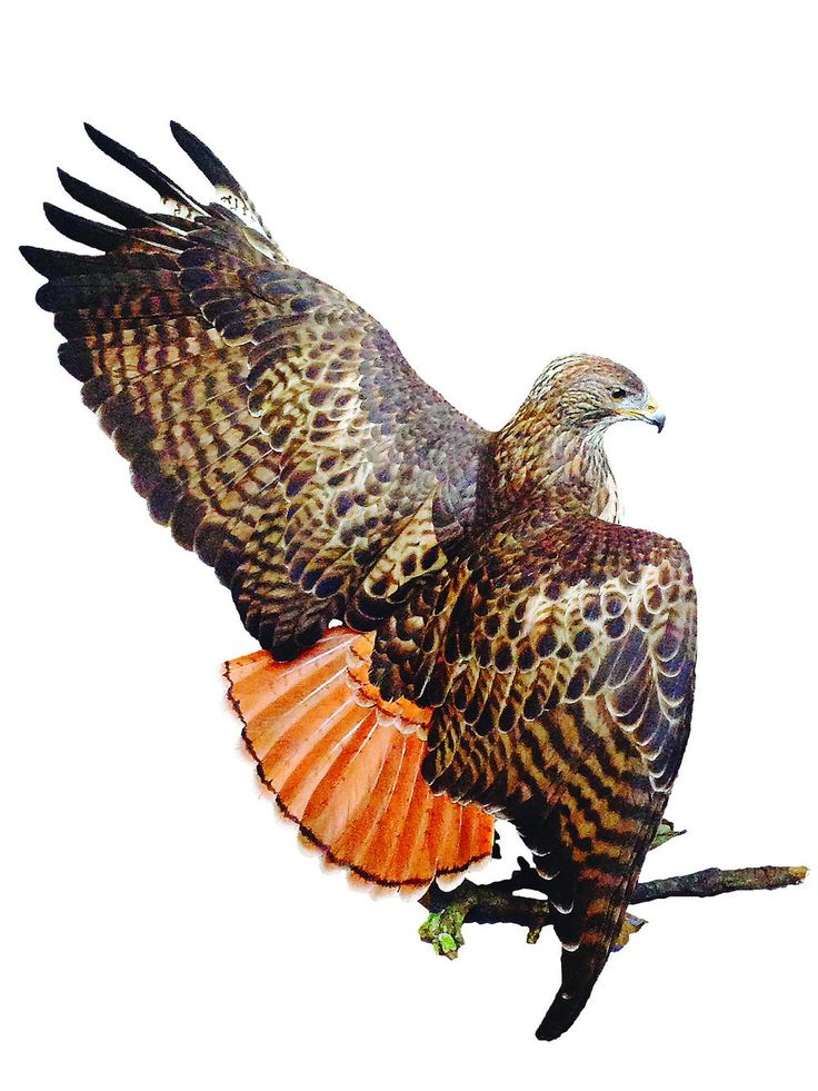 Red-tailed Hawk | This carving captures a red-tailed hawk in action—chasing a rabbit.