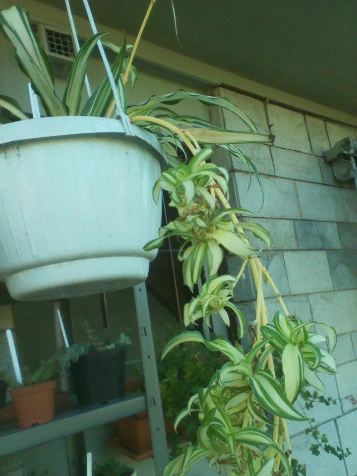 Clorophitum (pianta ragno)