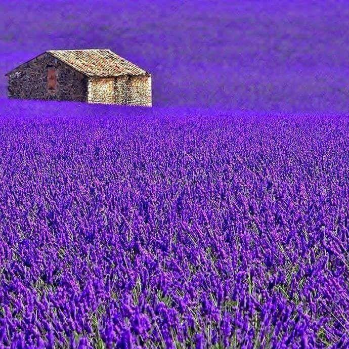 Lavender Field..