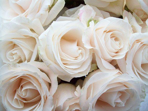 Cream roses. Discover the Alberto Guardiani Pure Nude board. #pink #cream