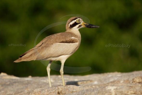 Stone plover bird