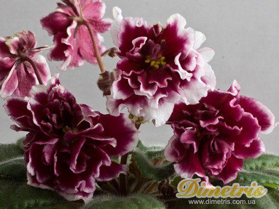 Роза / EK-Shankhaiskaya Roza / EK-Shanghai Rose ...
