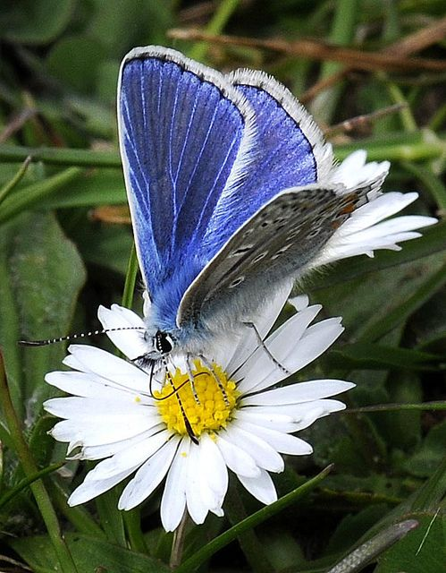 common blue butterfly- love that color blue- pinned from #Jilliandcamera