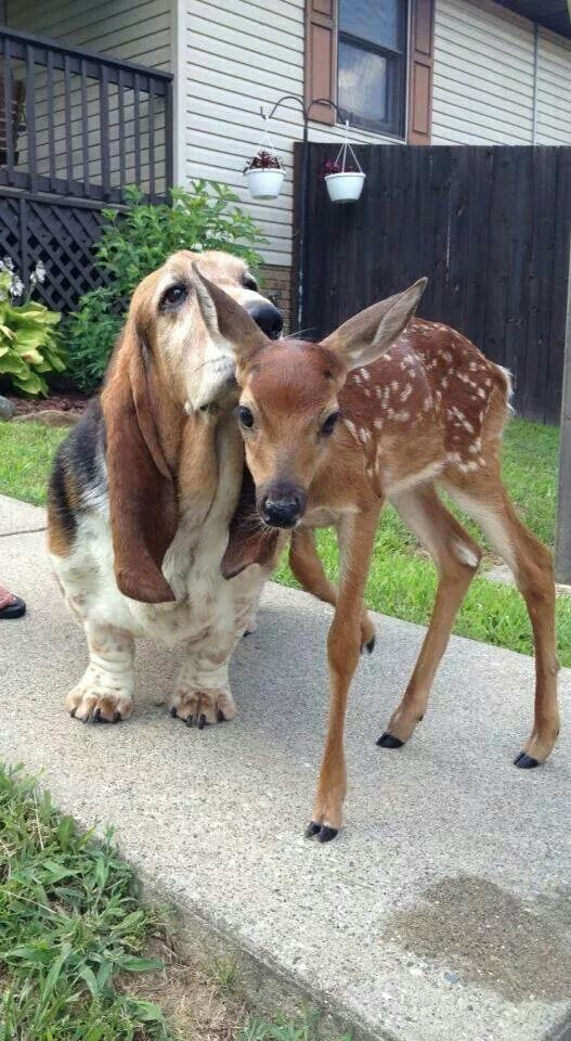 "The Basset Hound to Young Fawn: ""You smell SO good 'Freddy!' Where's your Mom by…"