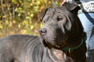 Sampson is an adoptable Shar Pei Dog in Nashua, NH. Sampson is a very friendly black horsecoat male shar-pei, about 50 lbs. and is thought to be around 4-5 years old. He likes everyone and is always w...