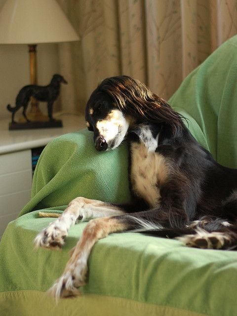 #saluki  I want that lamp in the background omg