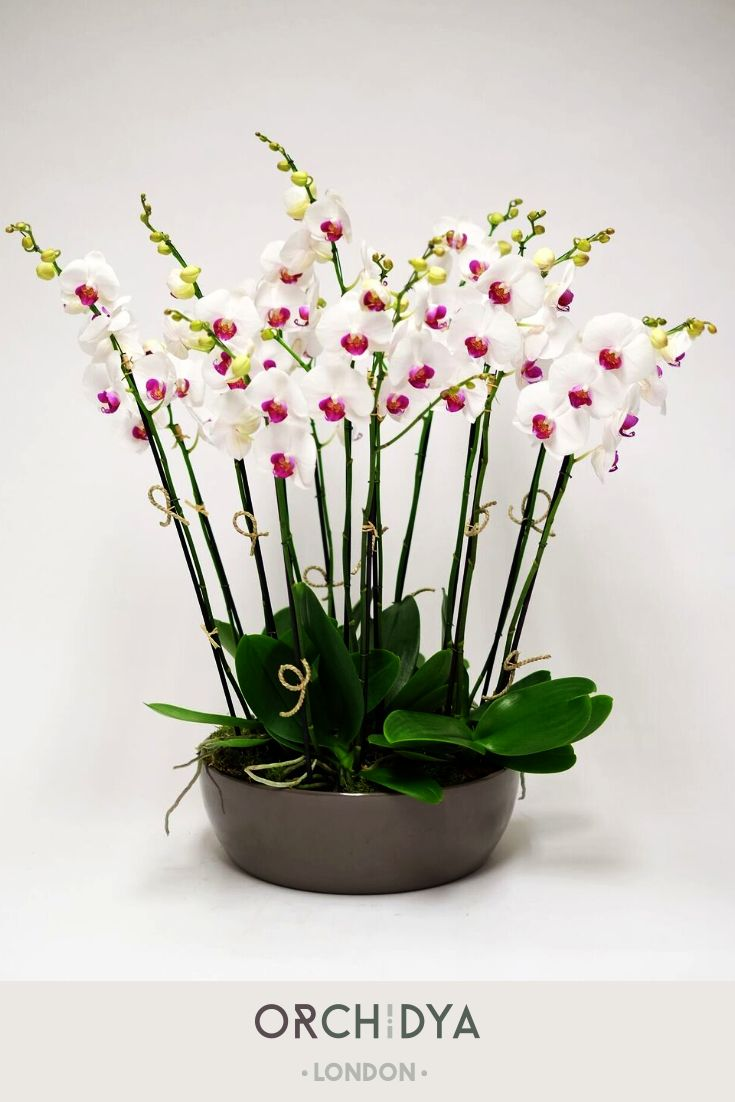 This Magnificent White Orchid Plant Is Aesthetically Beautiful And Exudes Romance With Its Signature Look Lovely Red Lip Orchid Plants British Flowers Plants