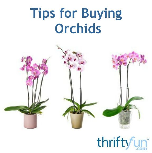 Orchids are available from many sources, but most are purchased from flower shops, garden centers, or from orchid nurseries either in person, or online. If you are new to the world of growing orchids, here are some tips for buying them.