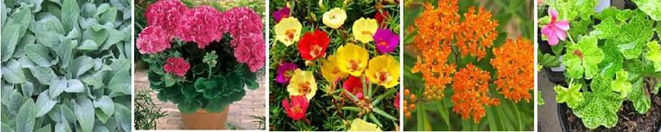 Drought Resistant Plants for Containers