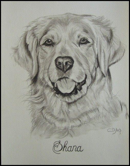 Dessin de golden retriever pencil drawing pet portraits pinterest golden retrievers - Dessin golden retriever ...