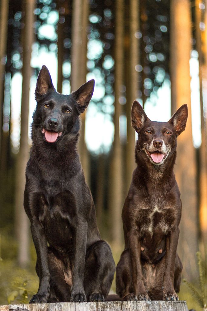 Australian Kelpies These look like Shadows mum and dad
