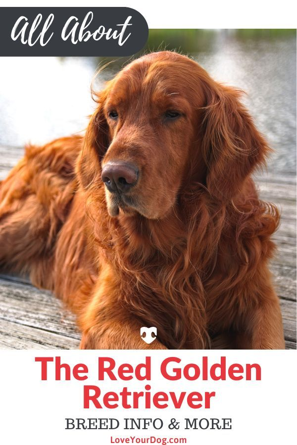 Red Golden Retrievers Color Controversy Puppy Cost More Red