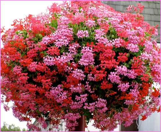 Geraniums Are Summer Flowering And Give Color To Any Shade Area There Thick Stems Hold