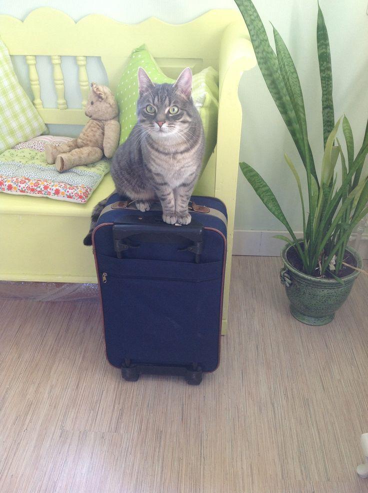 Ollie op de koffer, mijn gekke kat