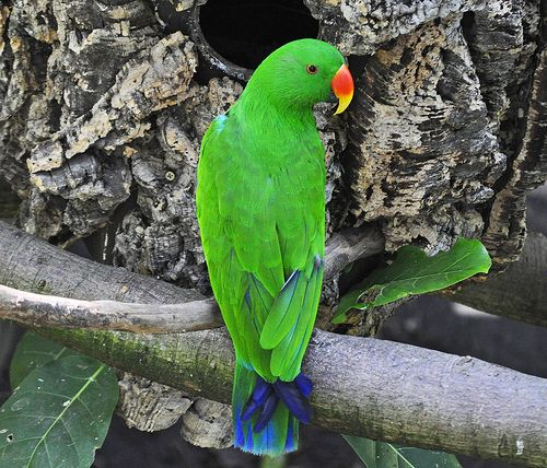 Eclectus Parrot (Eclectus roratus) male | by warriorwoman531